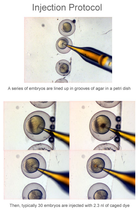 Zebrafish Embryo Injection Zebrafish and Retinoic...
