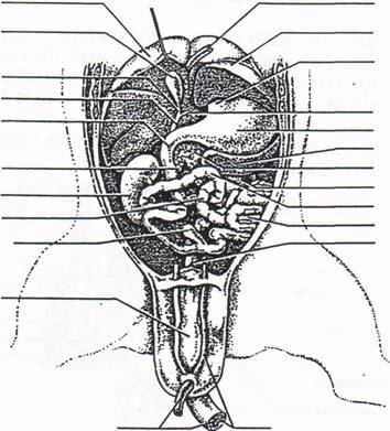 Horse Anatomy as well Nervous System Of A Pig Diagram further Retro Vintage Horse Anatomy Of The Skeleton In Black And White 1 1135834 likewise Flower Parts Diagram Blank additionally Body Organisation. on digestive system neck
