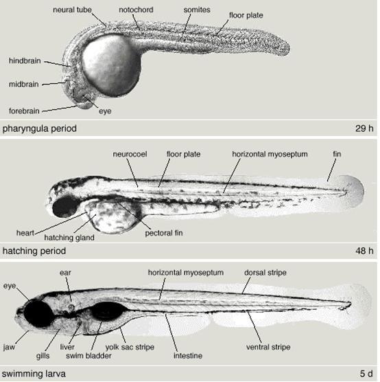 Zebrafish embryo anatomy